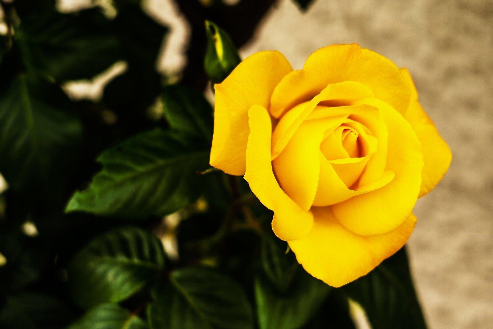 1Yellow rose.jpg