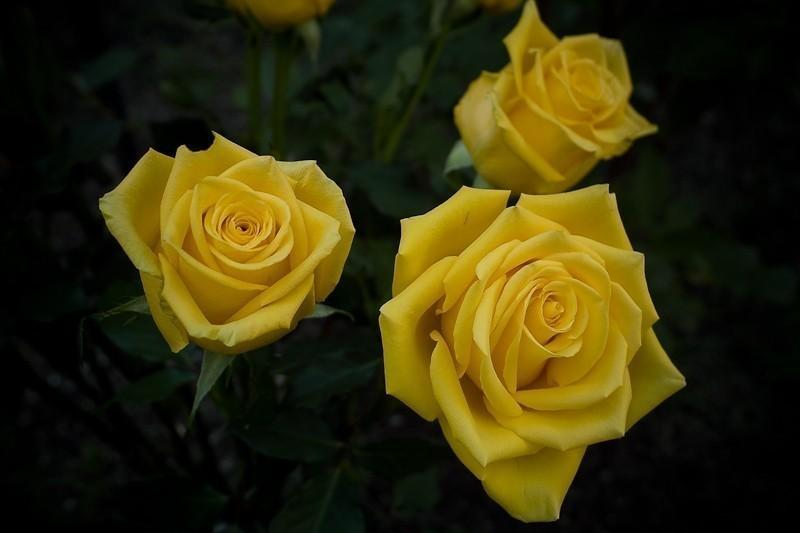 Anniversary Rose (1 of 1).jpg
