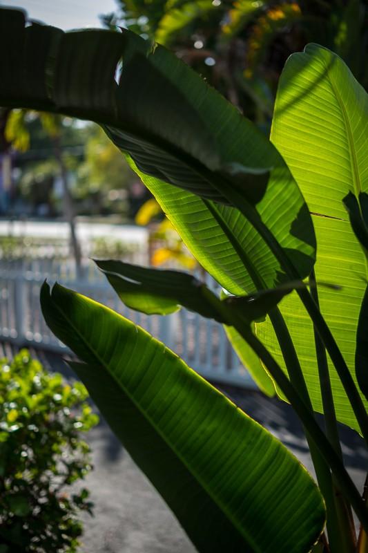 Banana Leaves.jpg