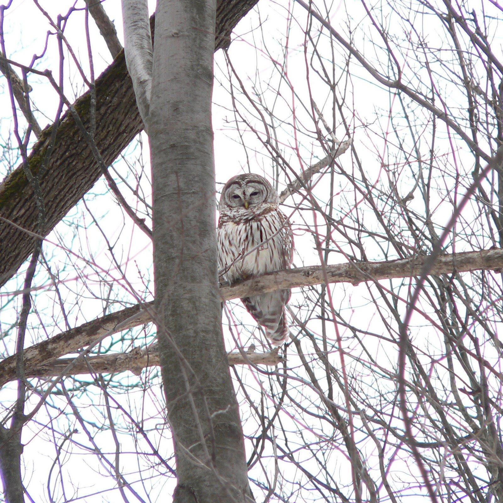 Barred Owl, Awake.jpg