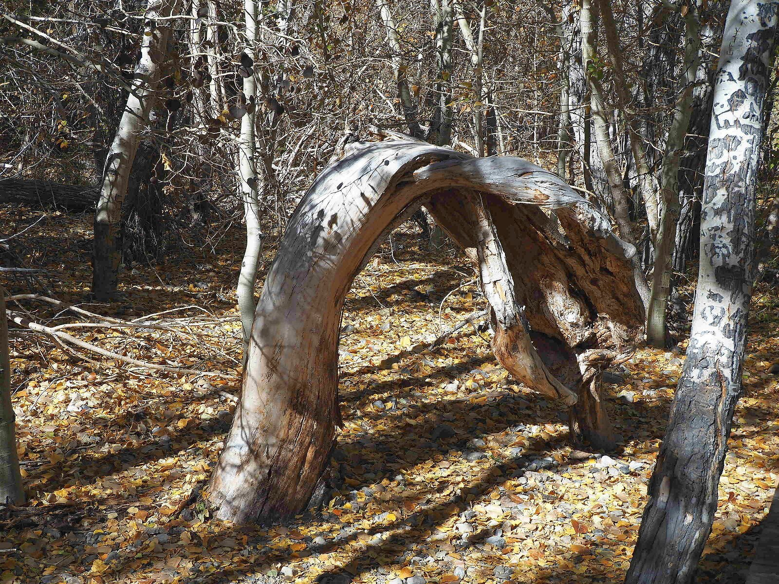 bent over tree.jpg