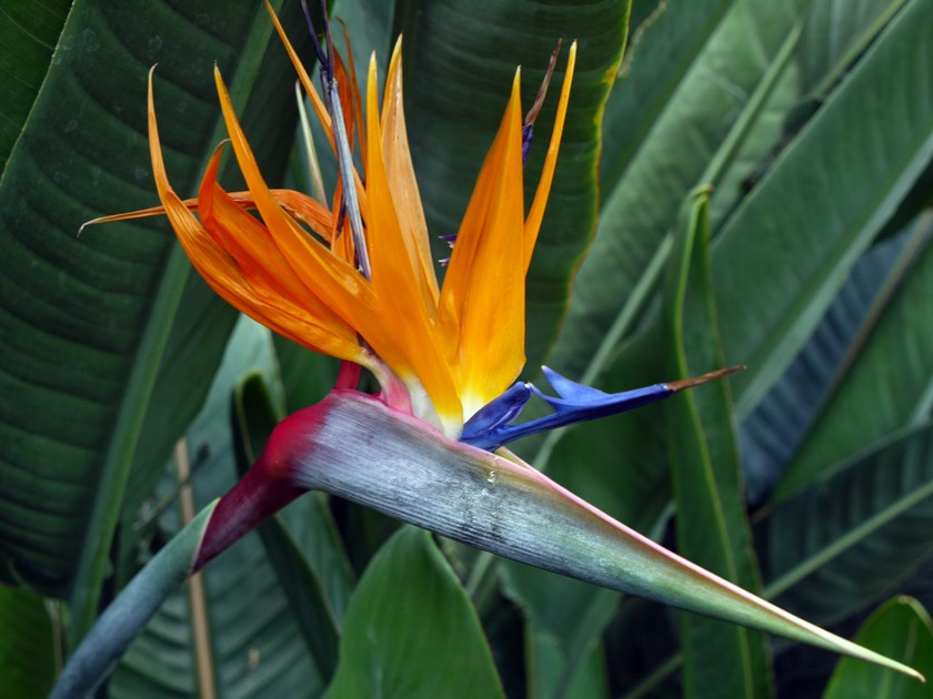 Bird-of-Paradise_LoRes.jpg