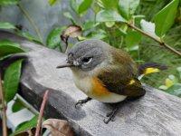 Bird_Vireo01_s.jpg