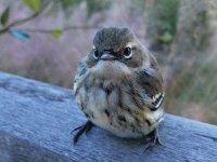 Bird_Vireo02_s.jpg