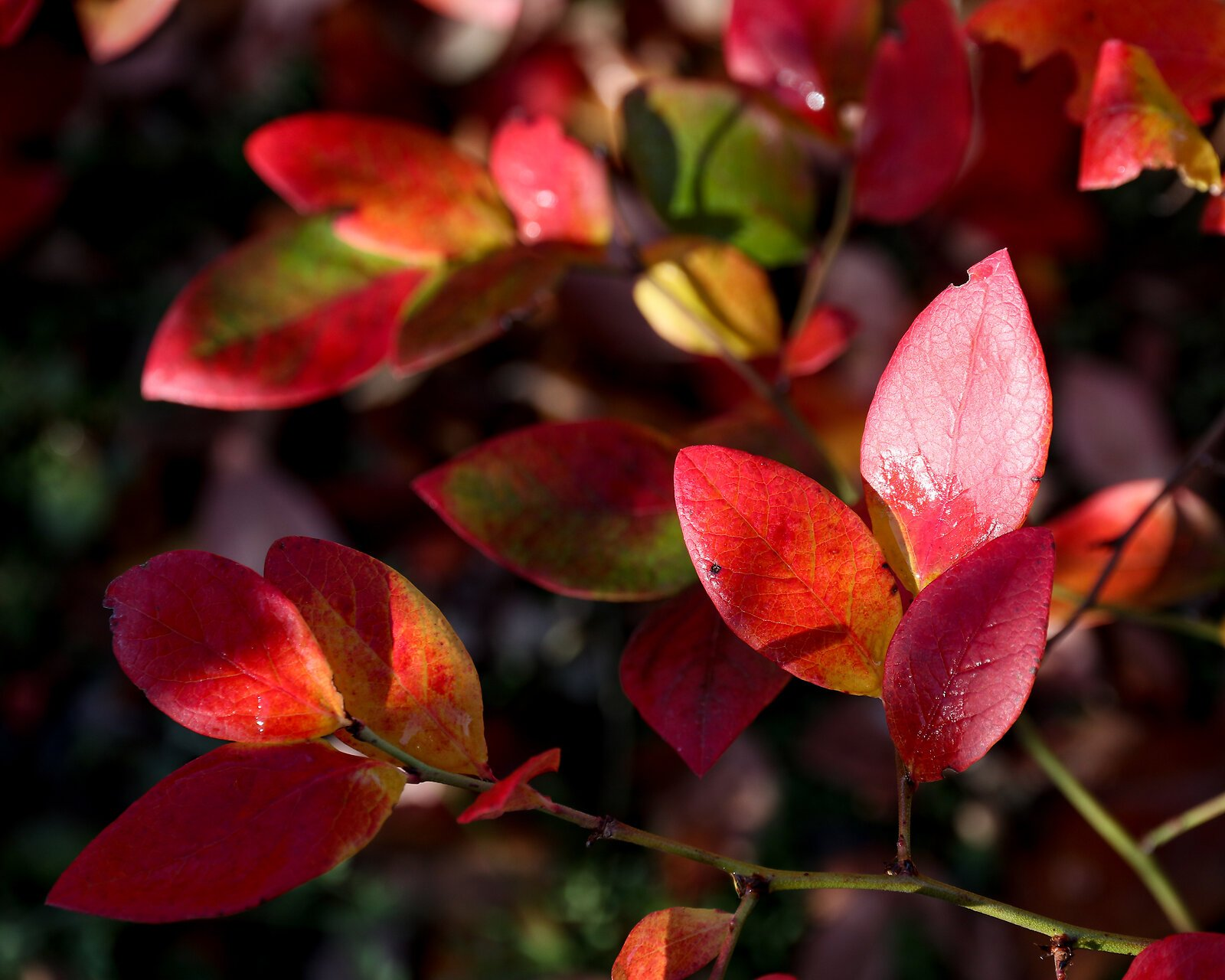 blueberry_leaves_CanM100_15to85_Dec20.jpg