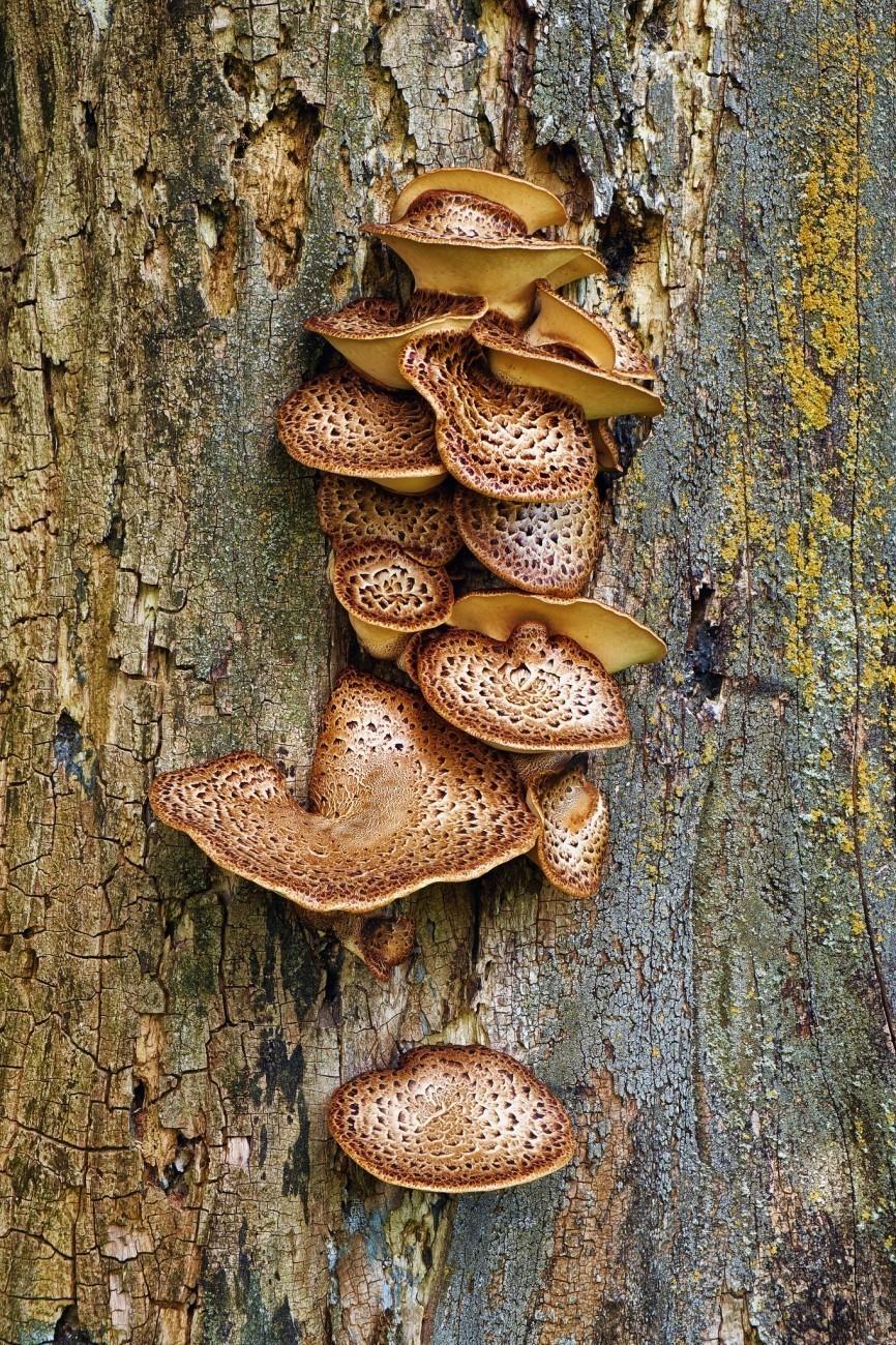 Bracket Fungus.jpg