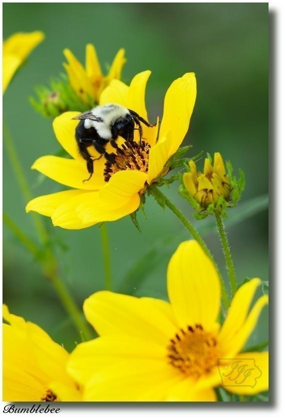 Bumblebee_6829%20post.jpg