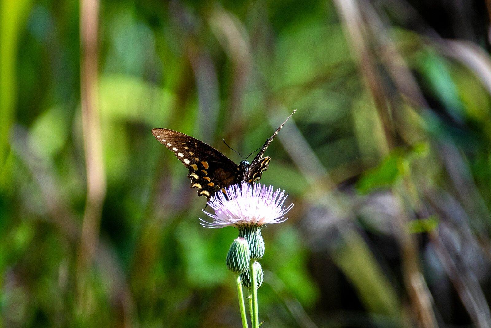 Butterfky 6.jpg