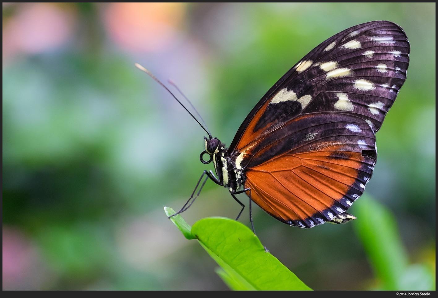 butterfly1_z.jpg