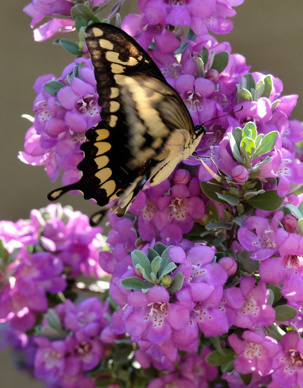 Butteryfly 1.jpg