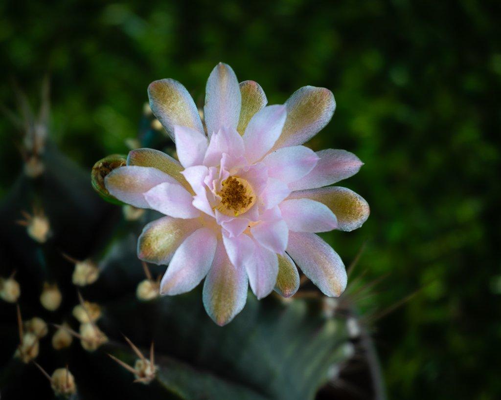 cactus blossom-1.jpg