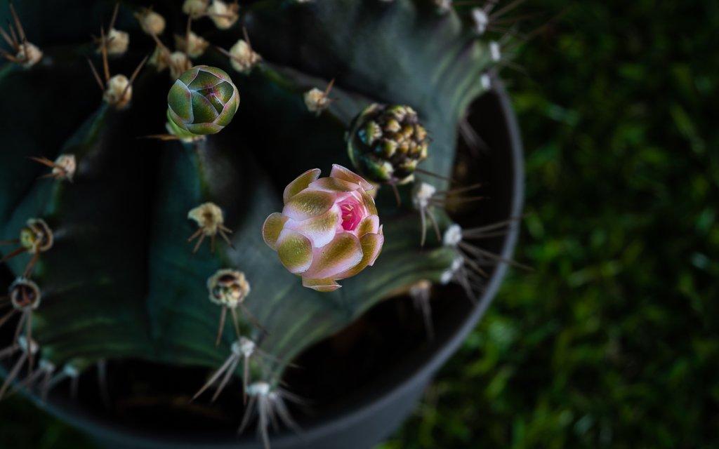 cactus blossom1-1.jpg