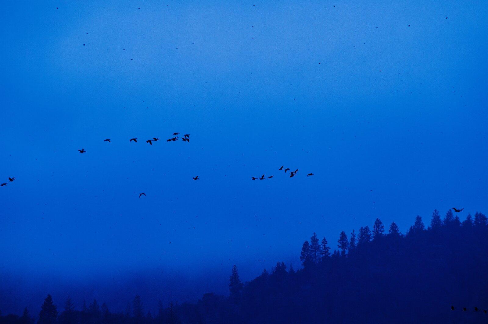 Canada_geese_Talent_Oregon.jpg