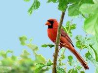 Cardinal03_s.jpg