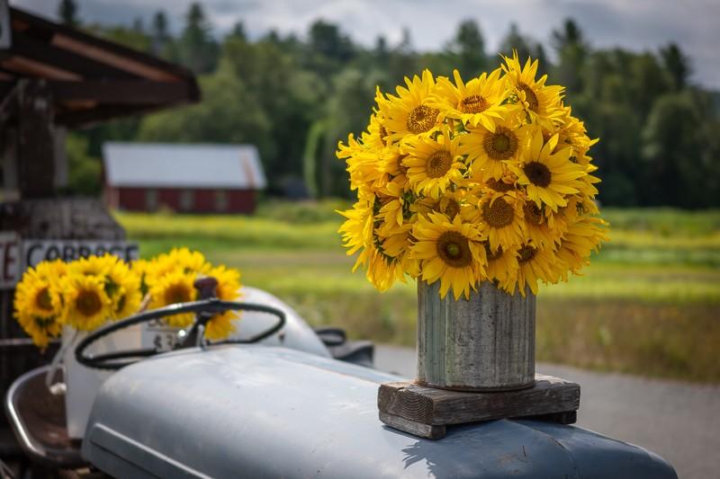 CL-Sigma-Sunflowers.jpg