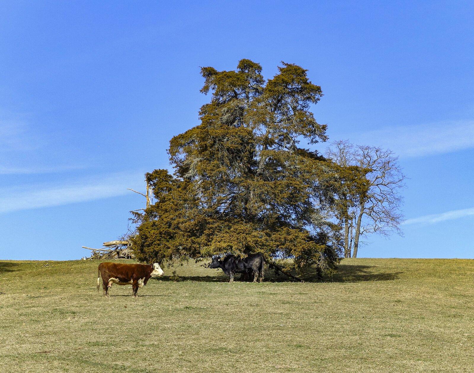 Cow2 2021.jpg