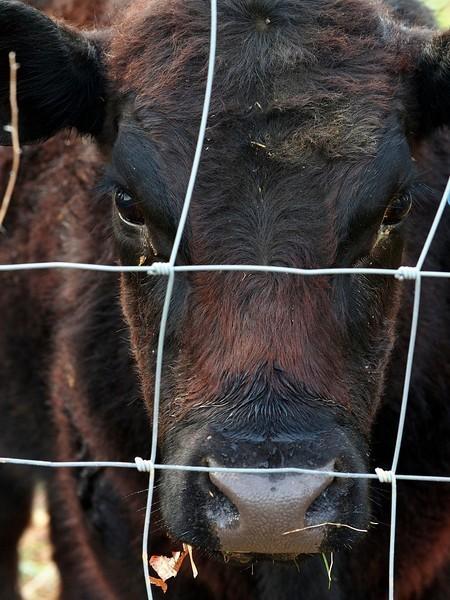 cows3-L.jpg