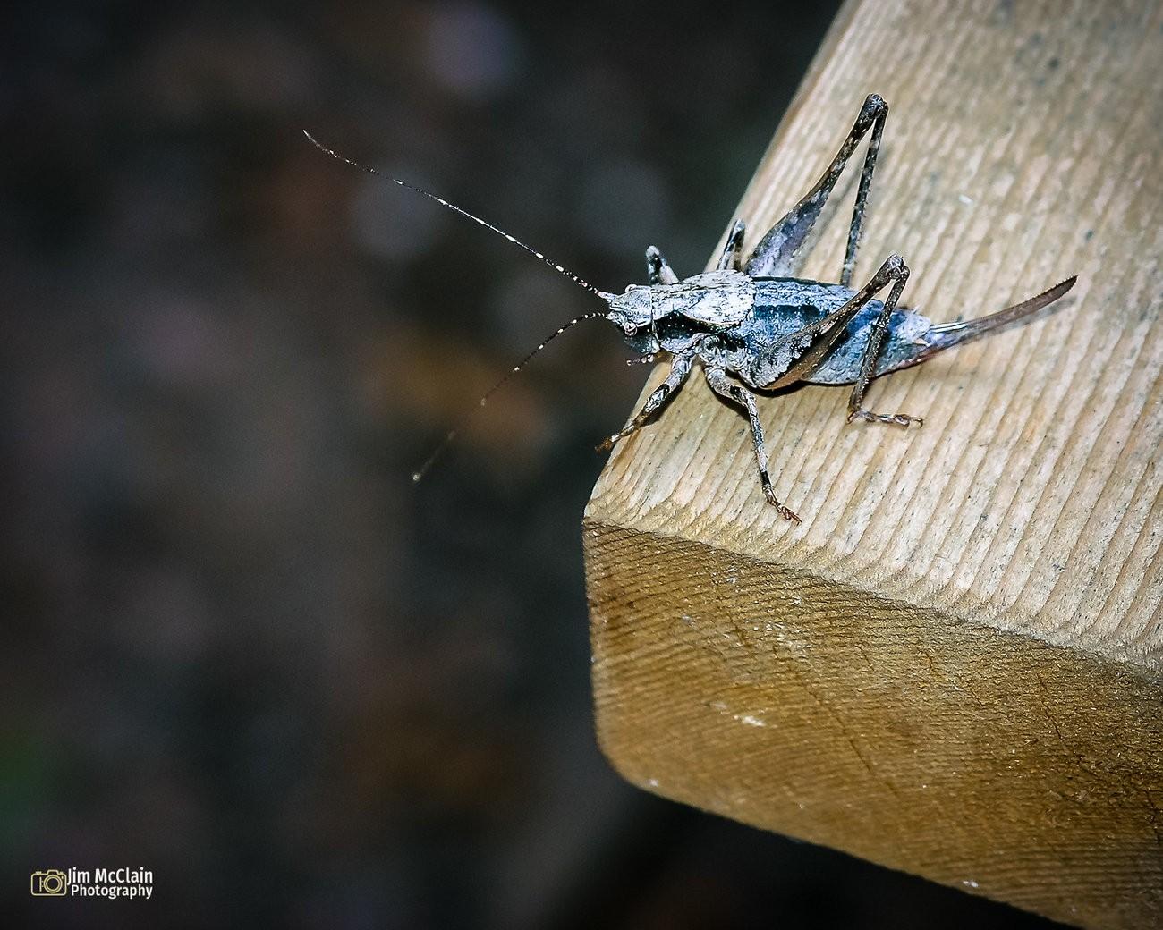 cricket0610-02.jpg
