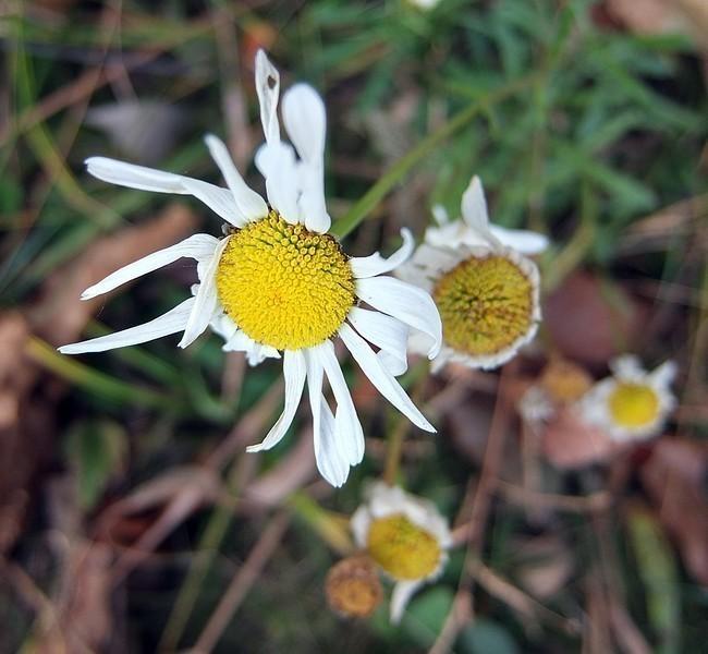 daisy2-L.jpg