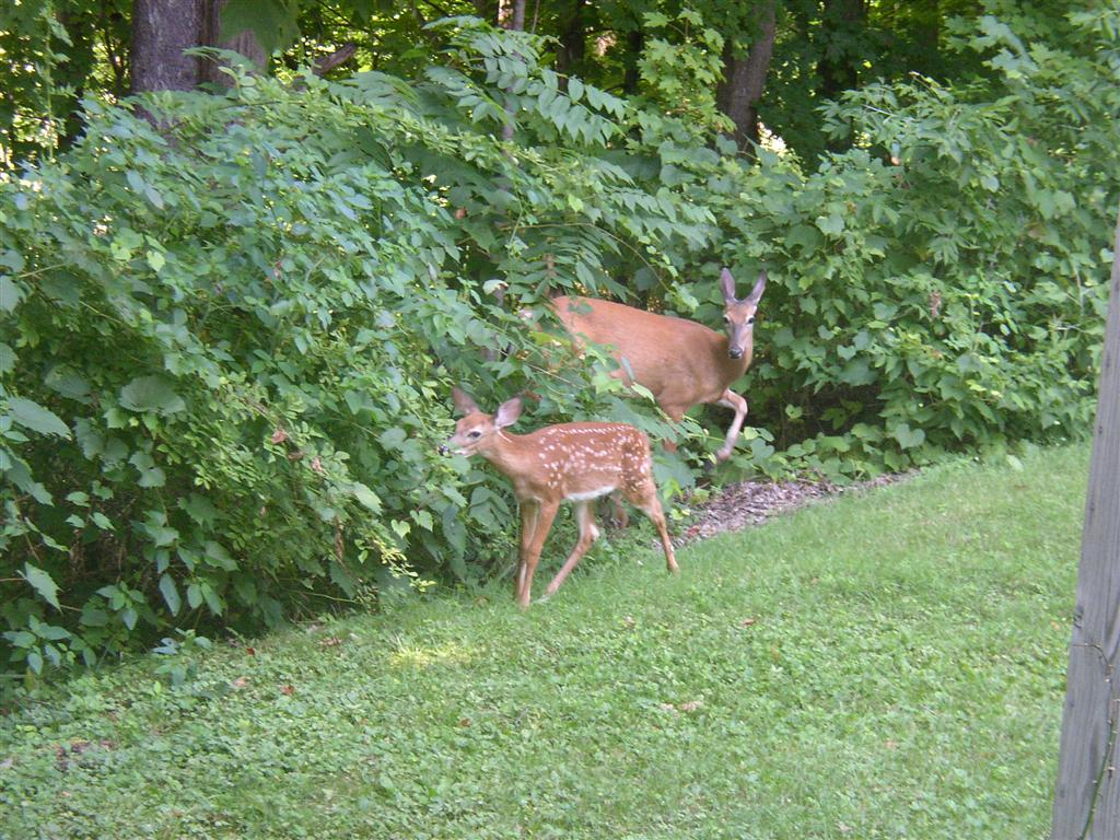 Deer_in_the_back_yard_005_Medium_.JPG