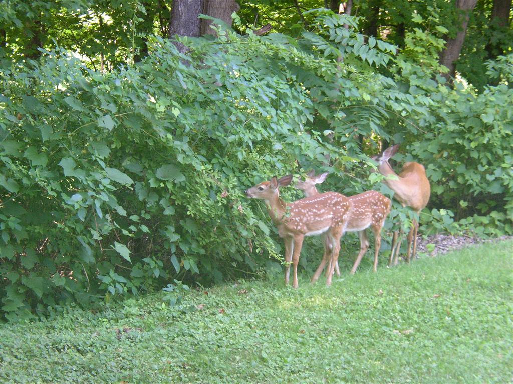 Deer_in_the_back_yard_010_Medium_.JPG