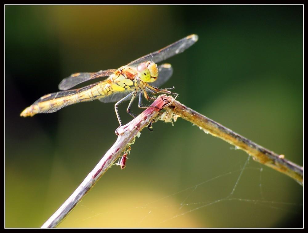 Dragonfly_4.jpg