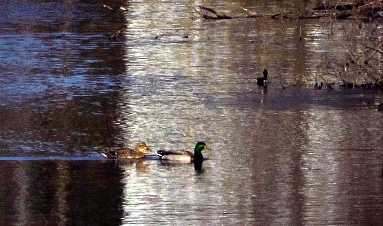 Ducks_003-1_Medium_.JPG