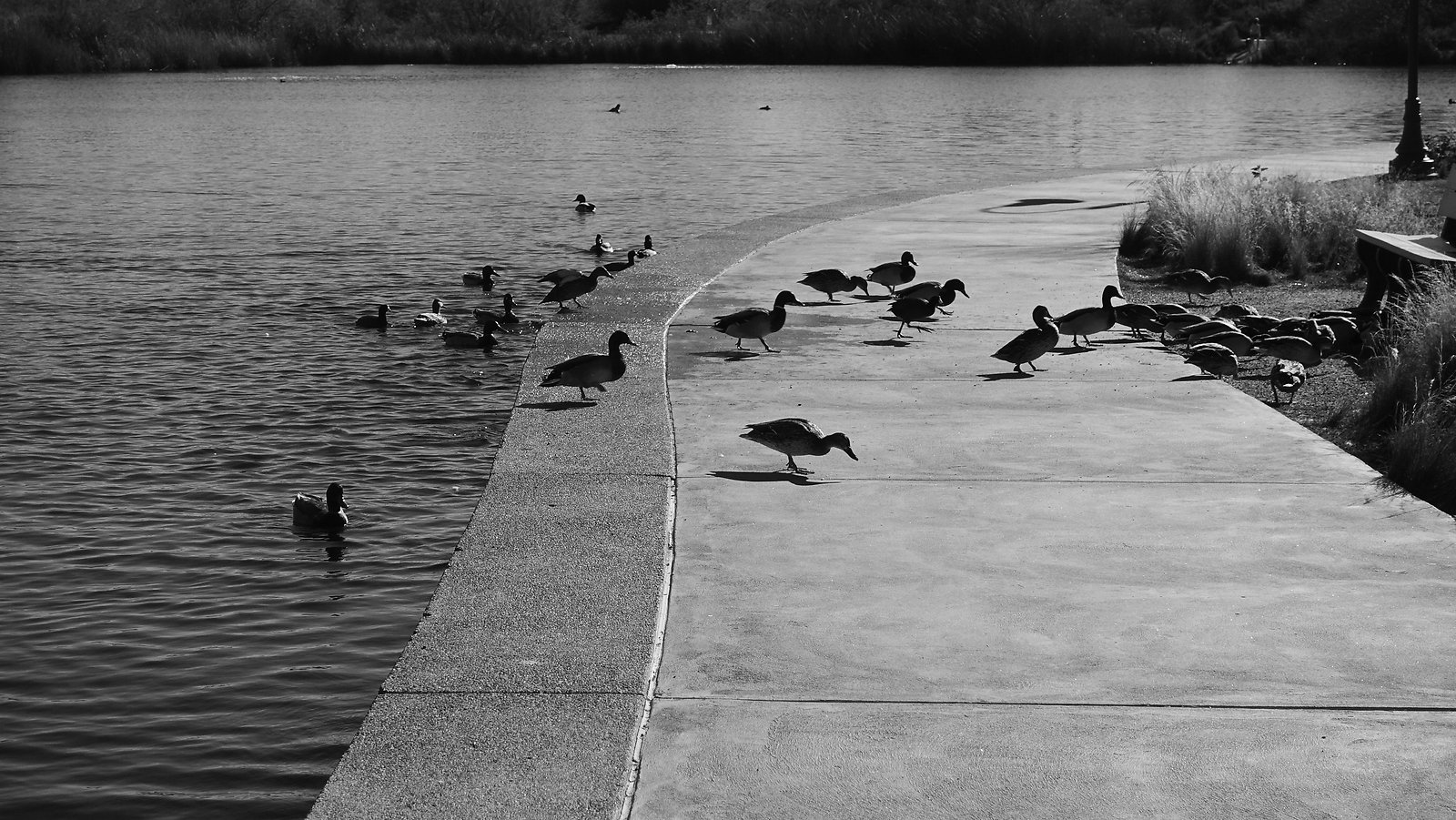ducksBW.jpg
