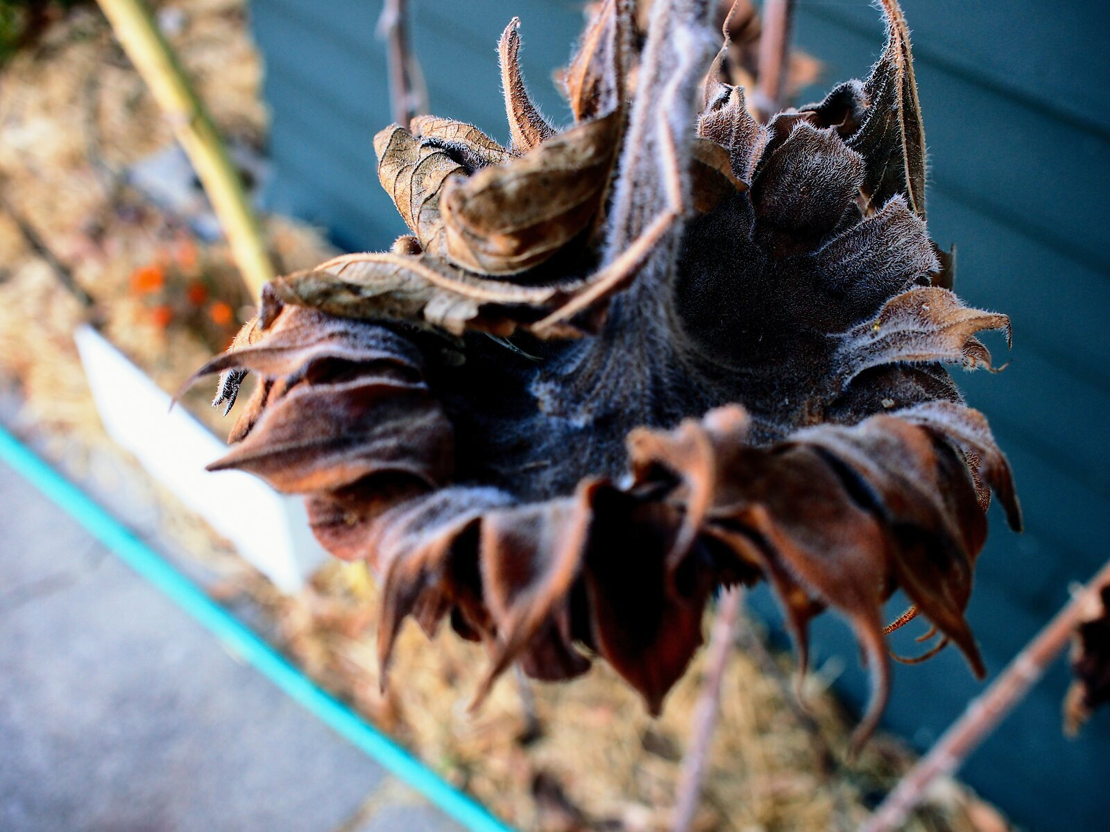EP3_Nov1_Dead_sunflower_head.jpg