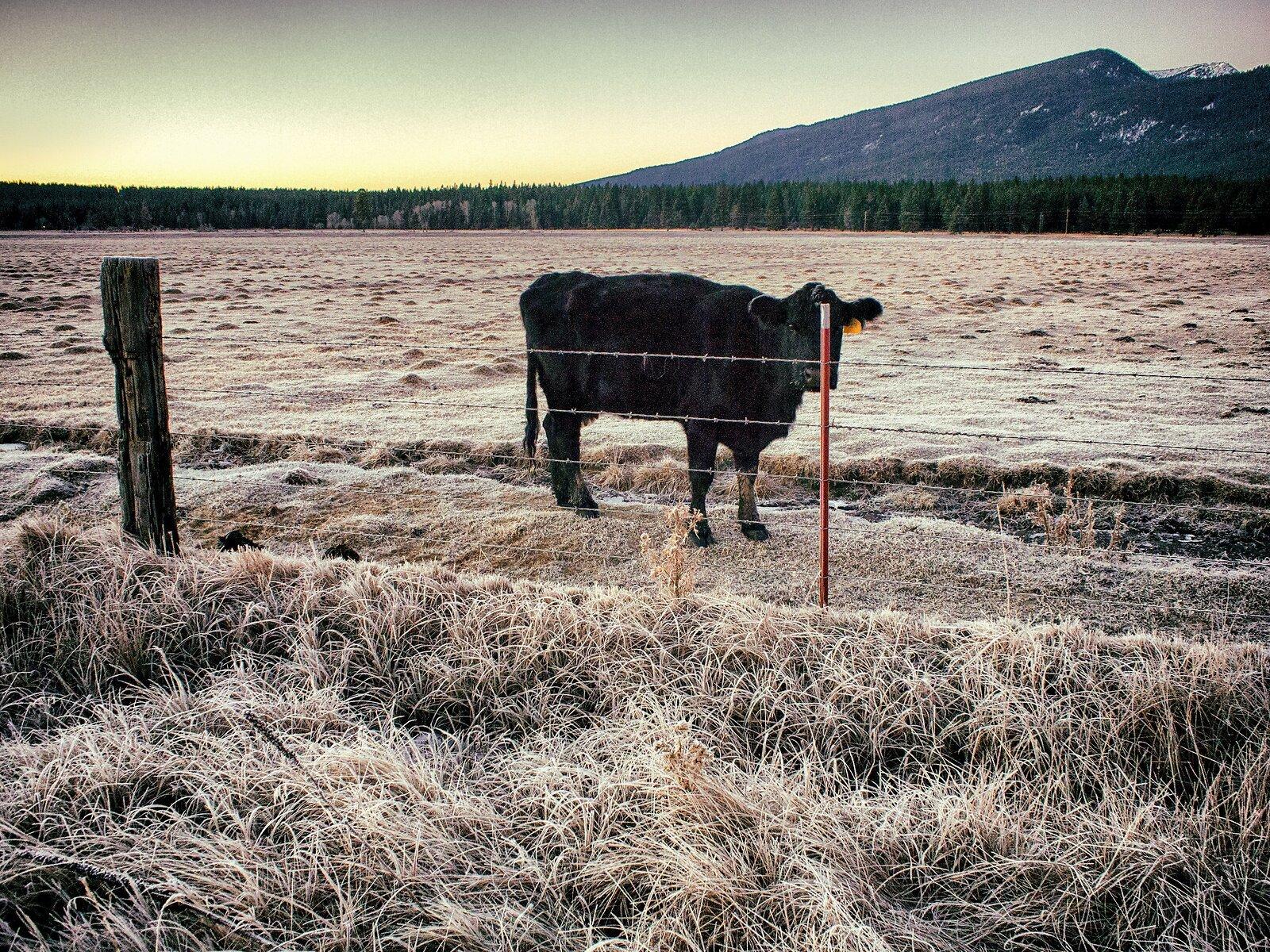 EP3_Nov28_Klamath_Cow.jpg