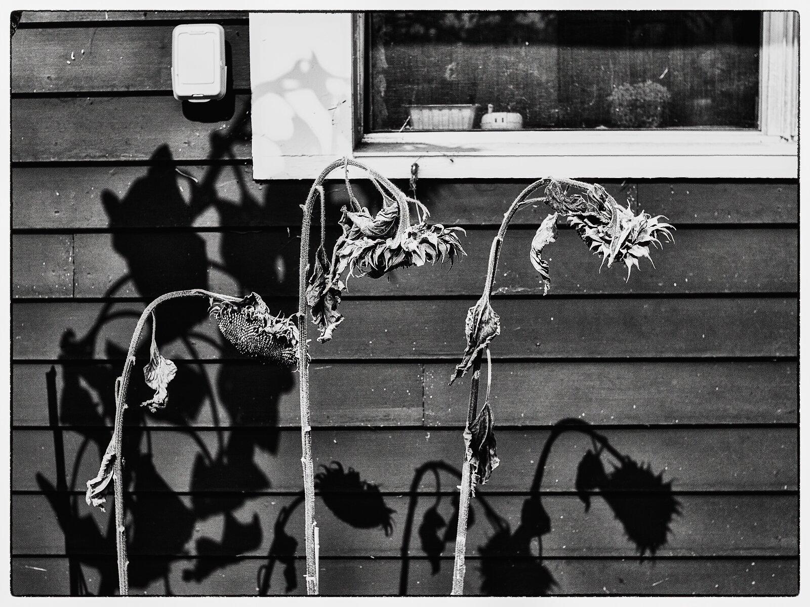 EP3_Oct9_dead_sunflowers+shadows.jpg