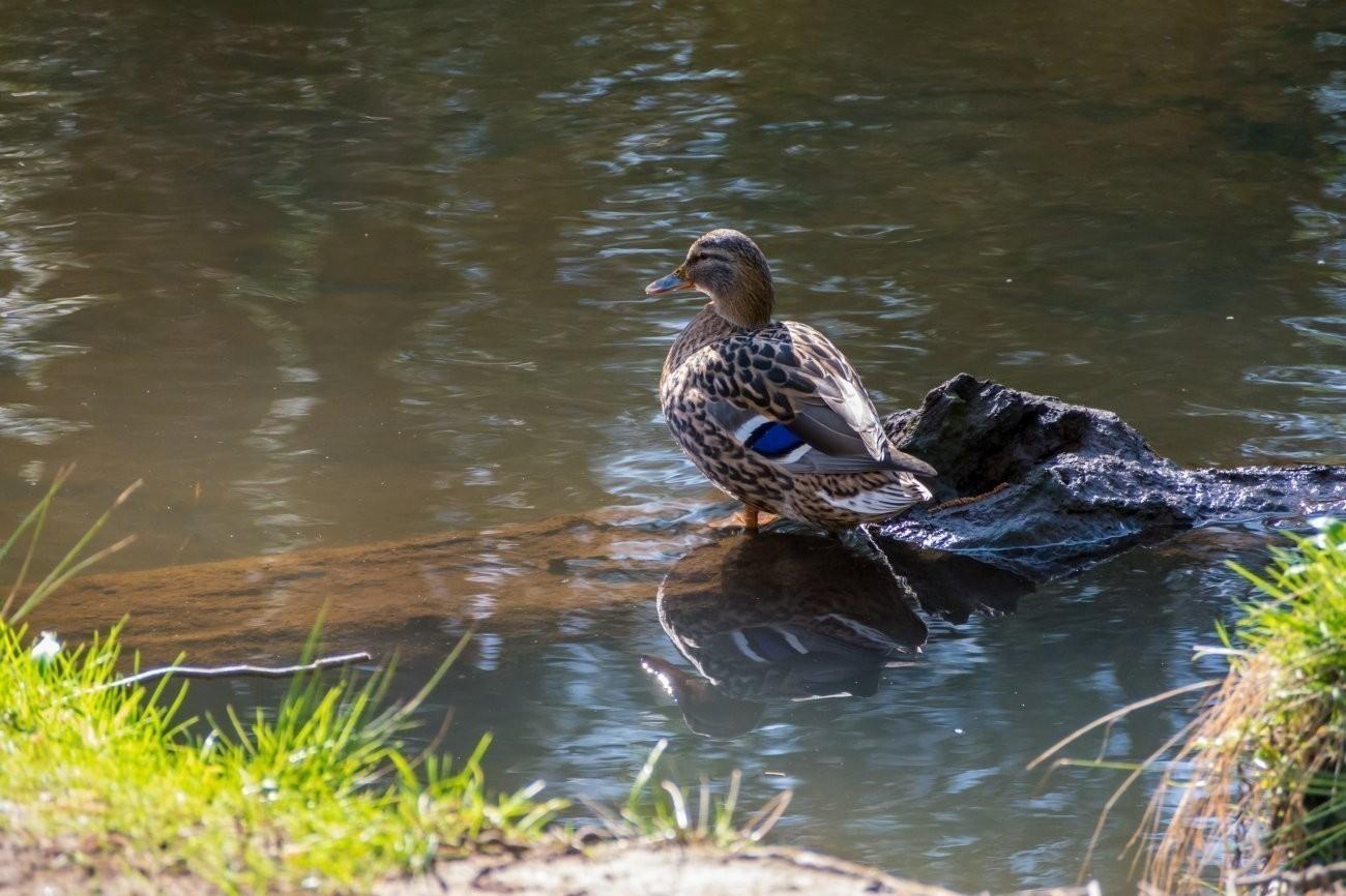 Female Mallard Duck.JPG