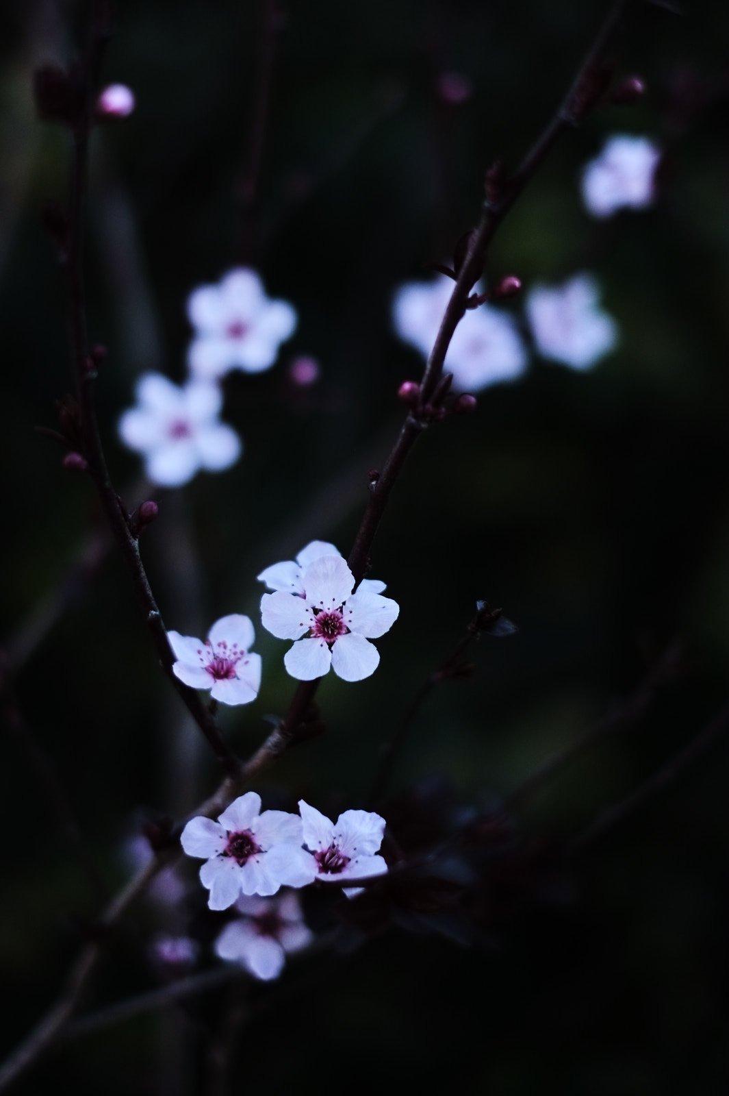 floweringplum 1.jpg