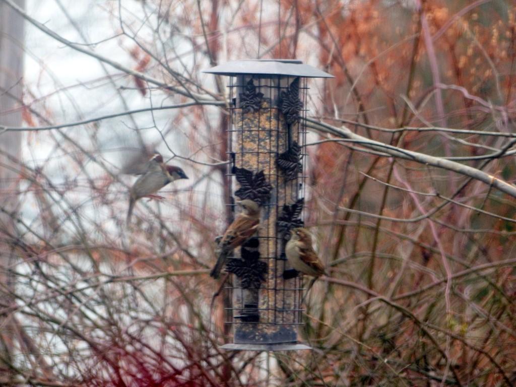 FZ200_birdfeeder_sparrows_010-001_Medium_.JPG