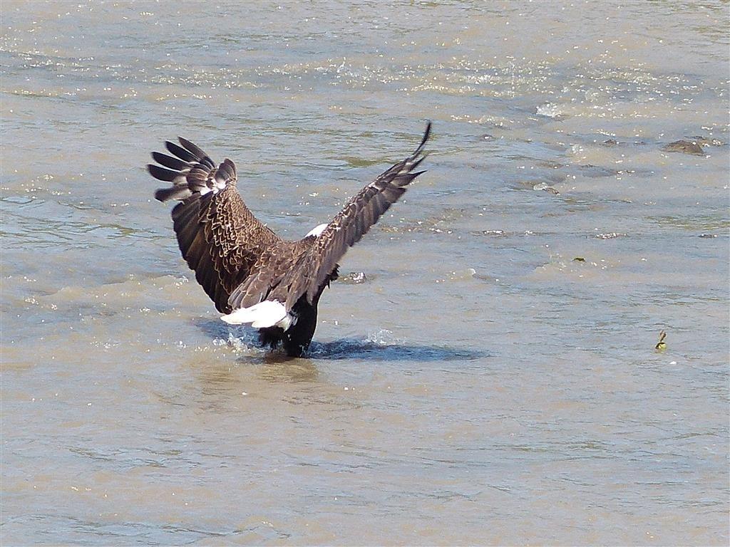 FZ200_Peebles_eagles_and_herons_034_Medium_.JPG