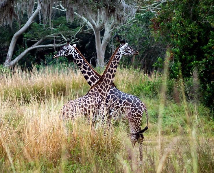 giraffesx-L.jpg