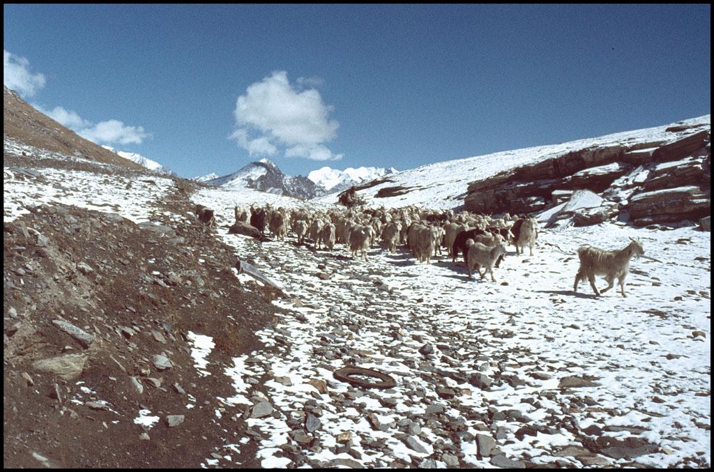 Goats_Rohtang.jpg