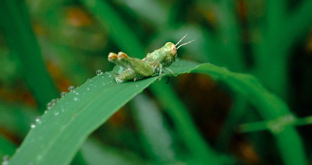 Grasshopper in rain.jpg