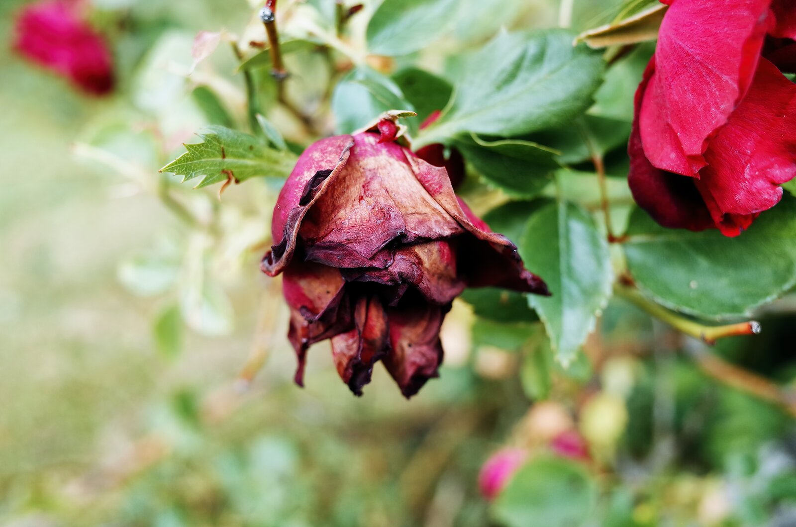 GRII_May18_Dying_rose(PosFilm).jpg
