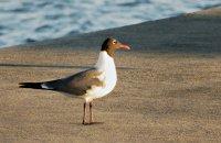 Gull17_s.jpg