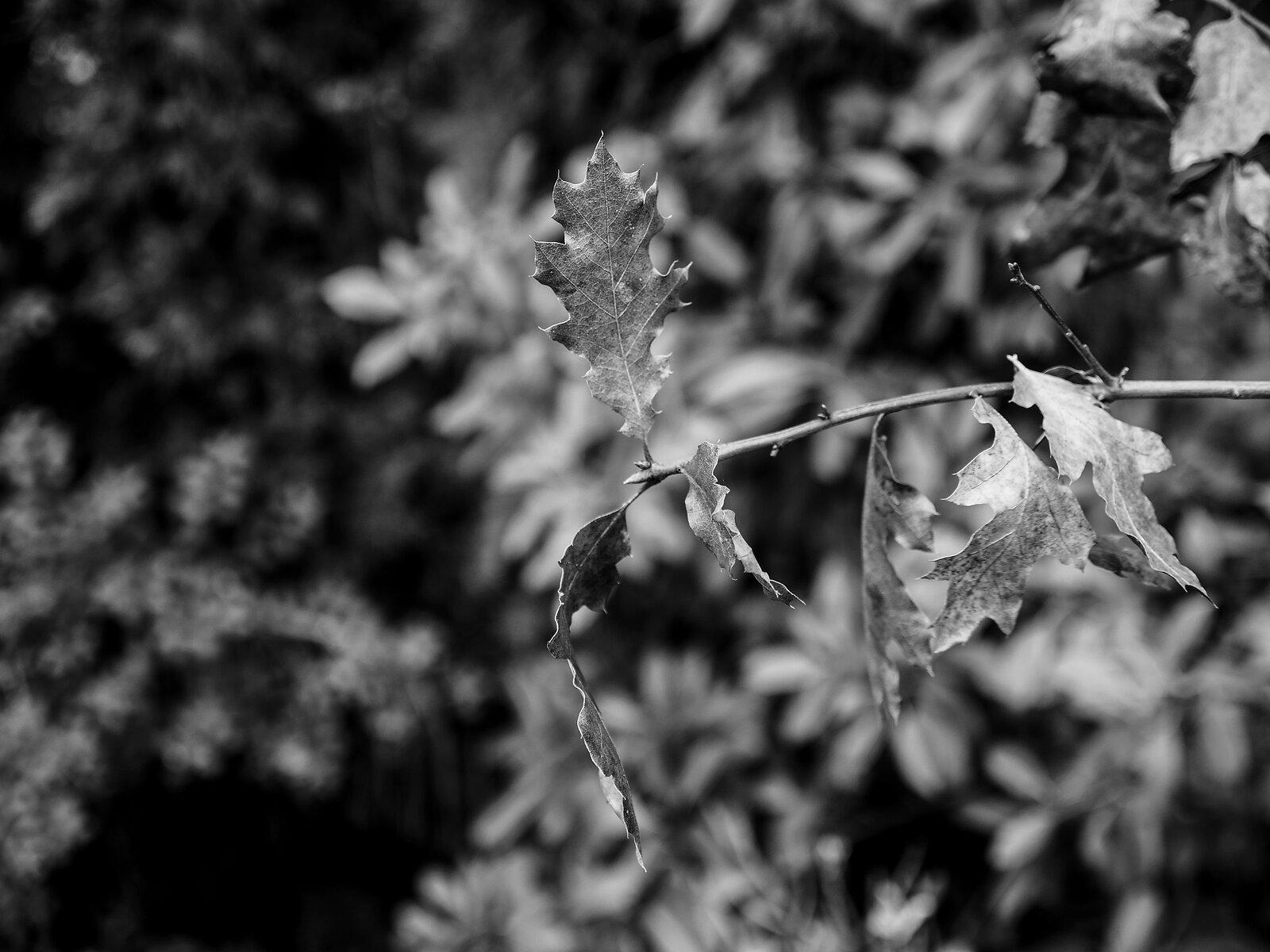 GX8_Jan18_21_leaves+branch.jpg