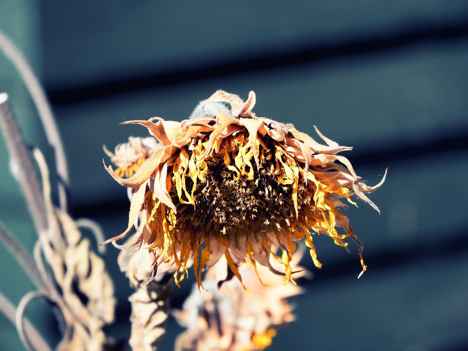 GX8_Oct15_dead_Sunflower.jpg
