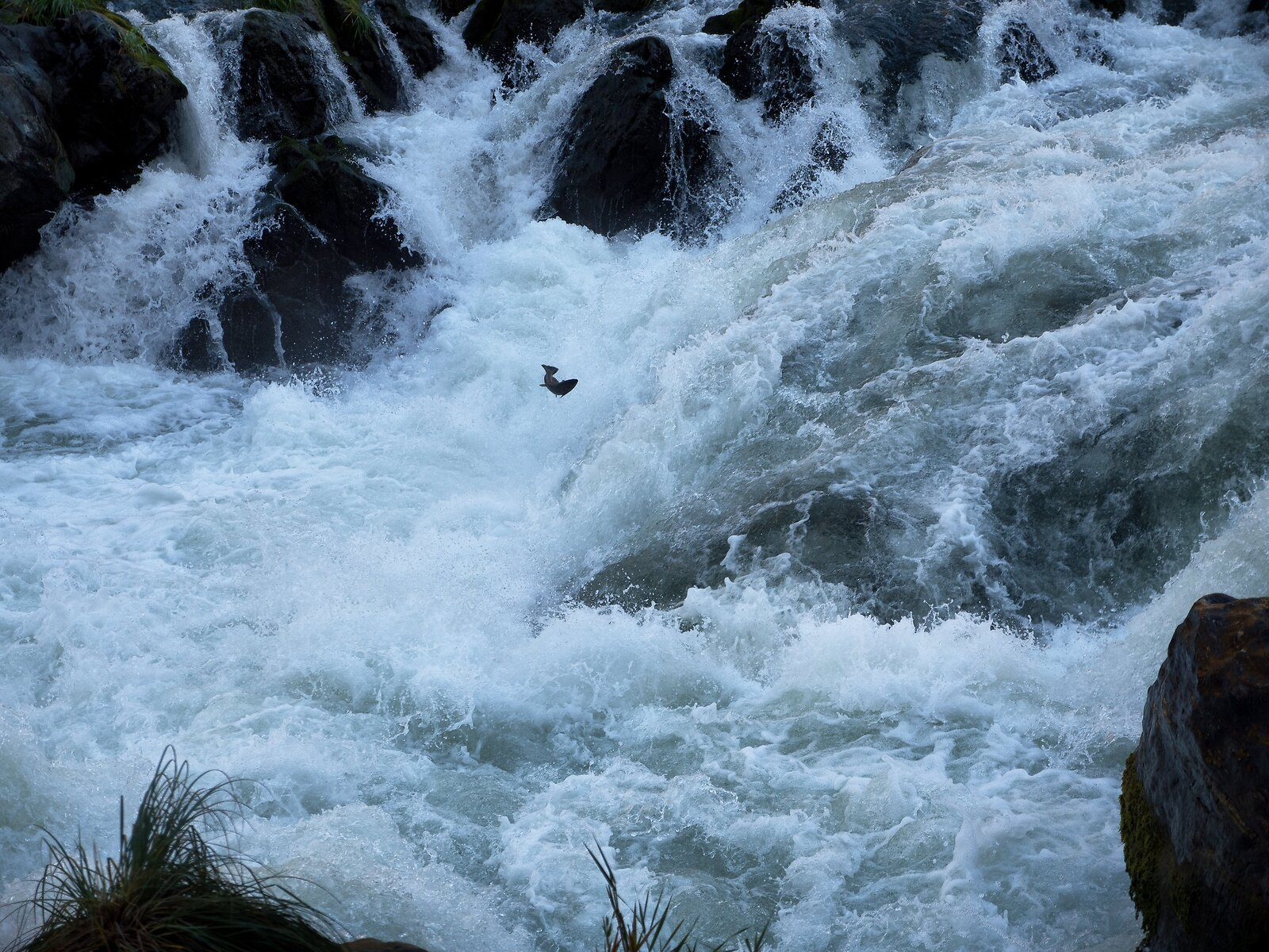 GX8_Oct19_Rogue_River#11(Salmon_in_rapids).jpg