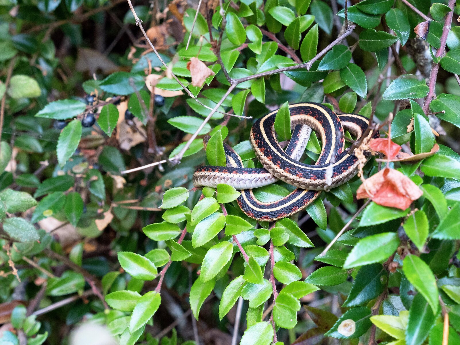 GX8_Oct19_Rogue_River#14(Snake_in_Tree).jpg