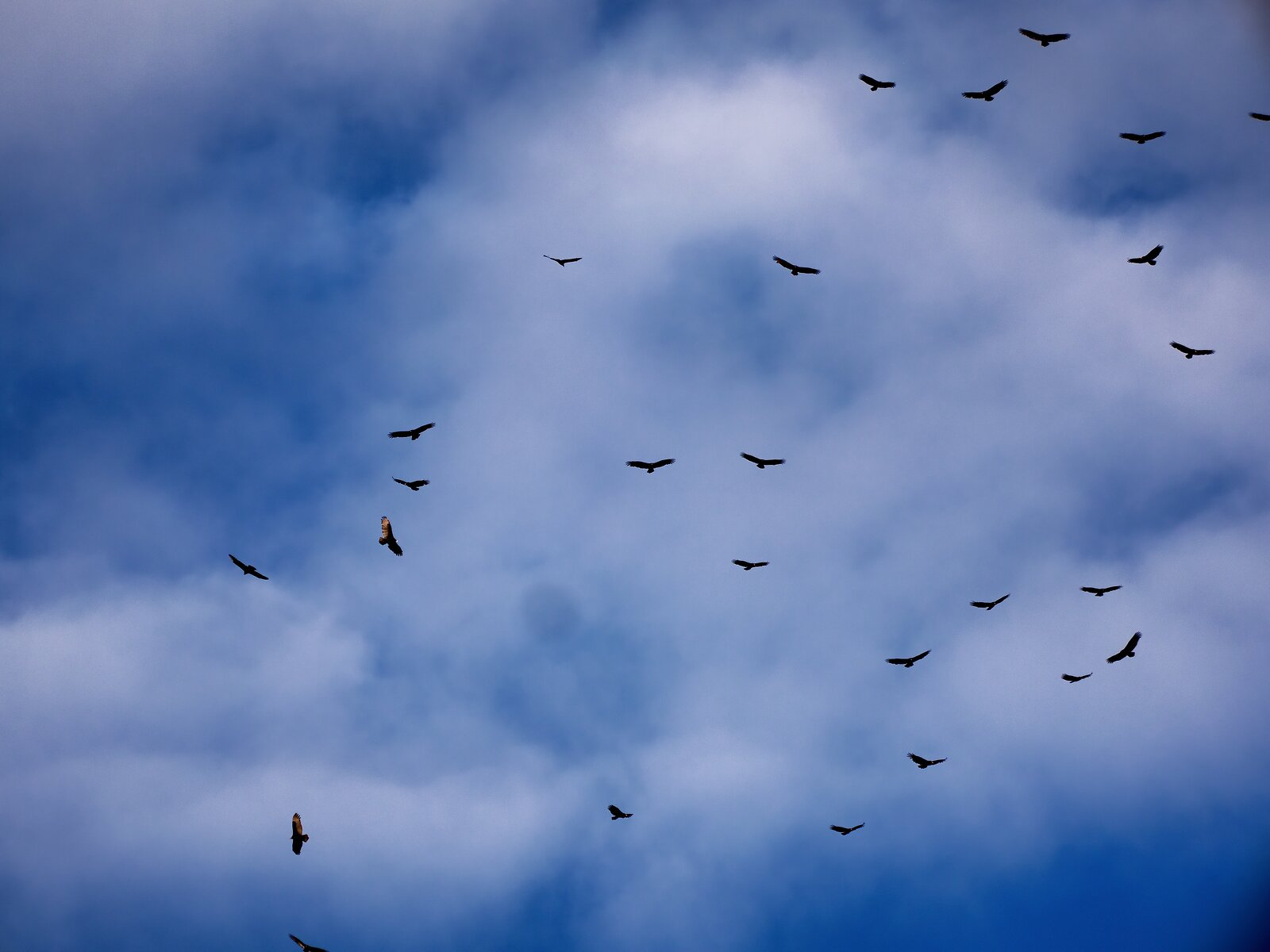 GX8_Sept26_Turkey_Vultures#2.jpg
