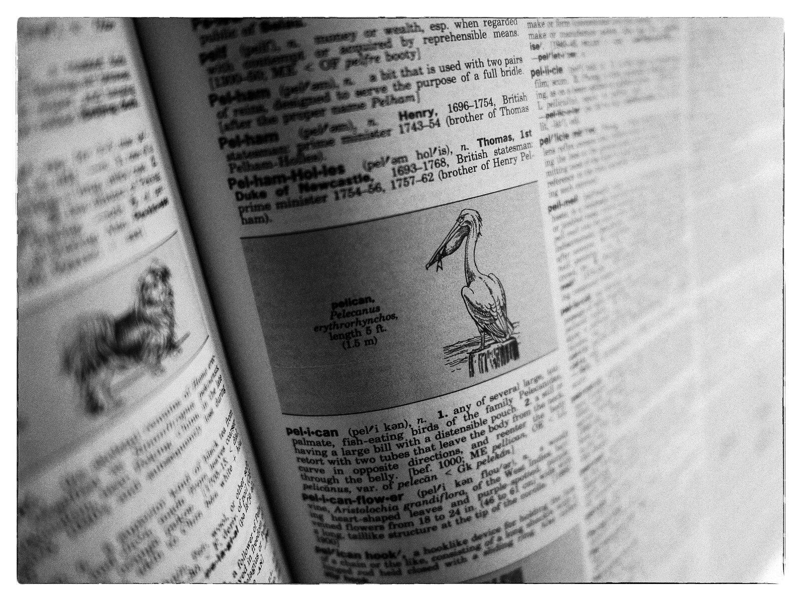 GX9_May16_21_pelican_Pelicanus.jpg
