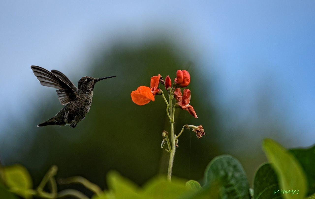 Humming bird 8.JPG