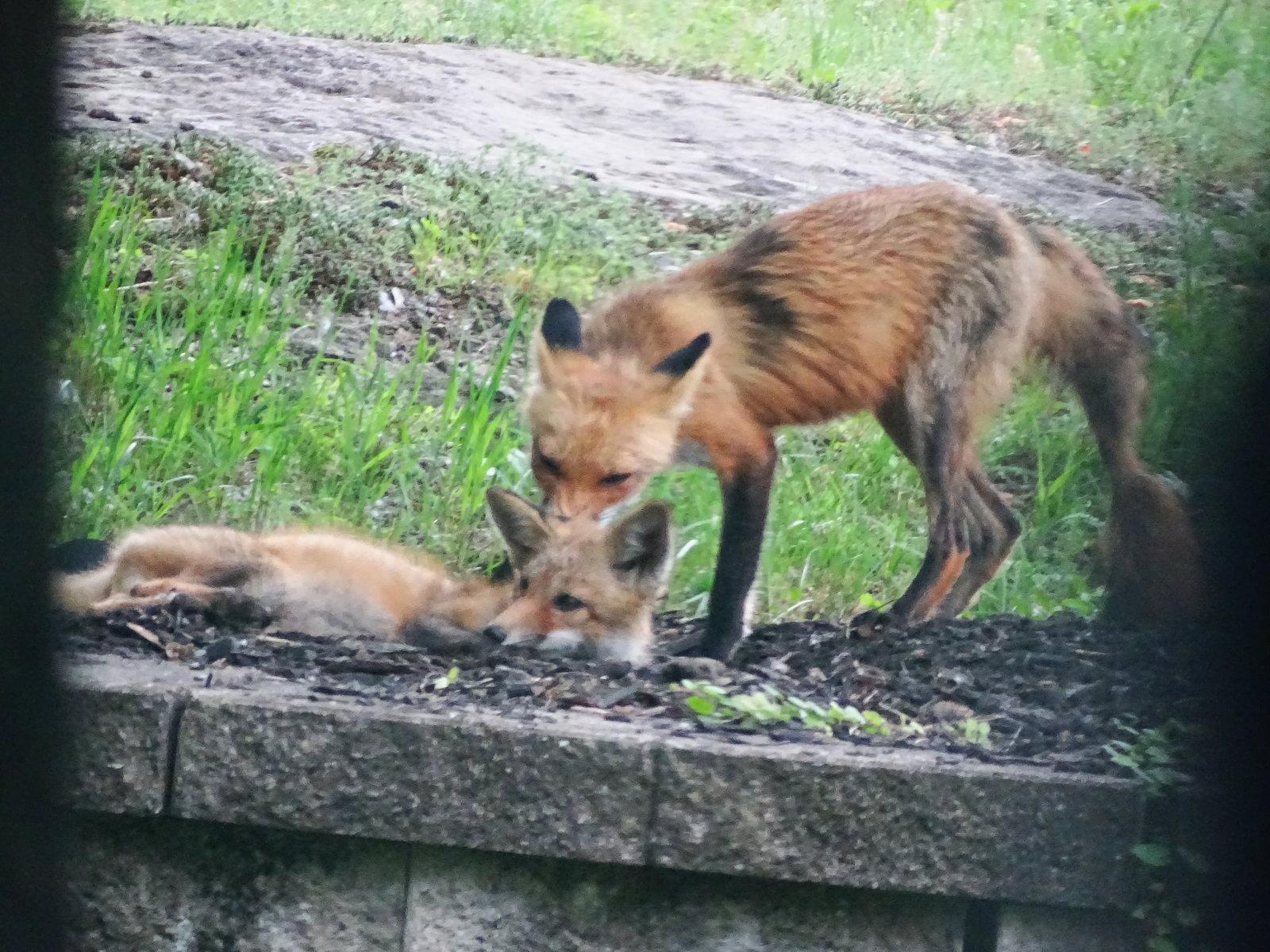 HX400V foxes playing 005.JPG