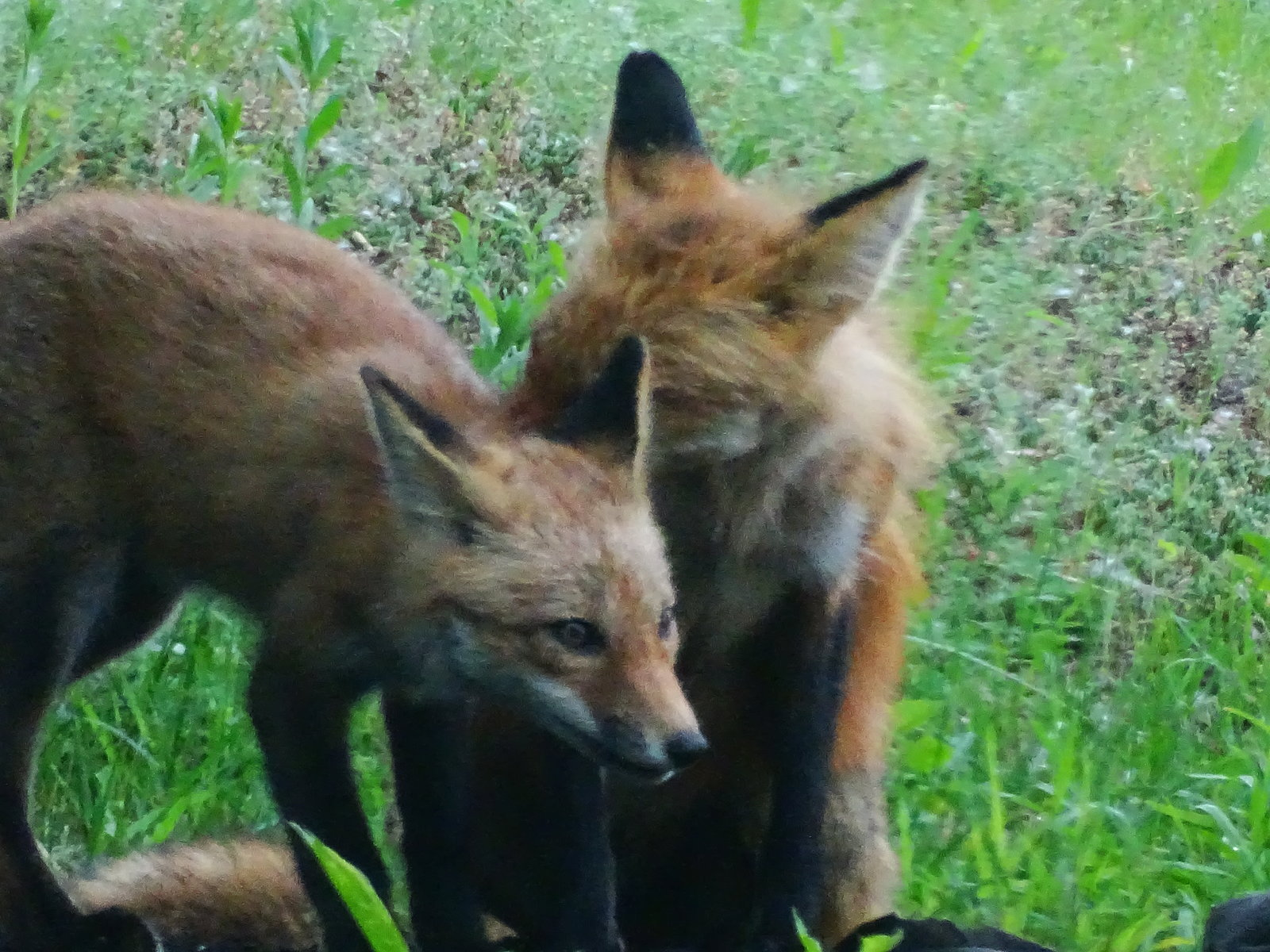 HX400V foxes playing 008.JPG
