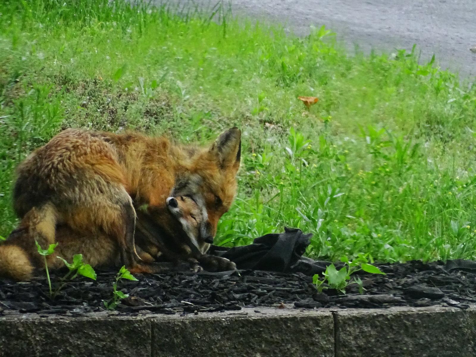 HX400V foxes playing 018.JPG